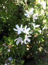 Westringia * fruticosa
