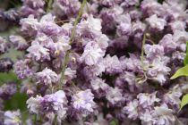 Wisteria floribunda \'Violacea plena\'