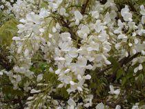 Wisteria sinensis \'Alba\'