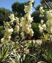 Yucca filamentosa \'Bright Edge\'