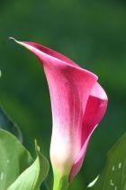 Zantedeschia \'Pink Jewel\'