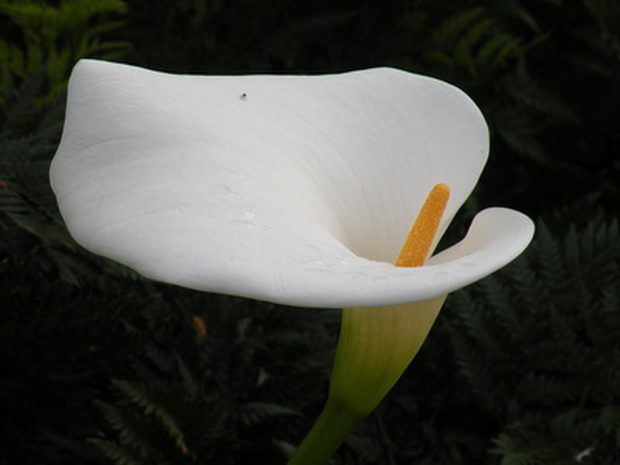 Zantedeschia aethiopica \'Princesse Fanny\'