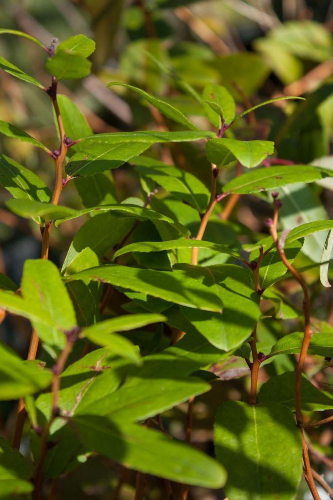 Zenobia pulverulenta, arbuste au feuillage persistant à semi persistant vert et au bois décoratif, fleurs blanches en juin juillet comme du muguet.